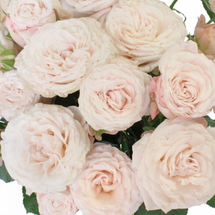 Картинки по запросу с днем рождения пионовидная  роза