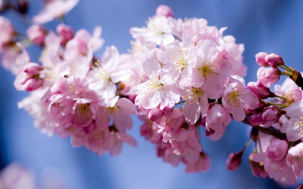 pink-cherry-blossoms.jpg