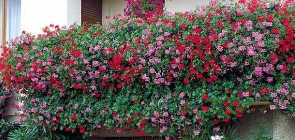 geranium_lierre_summer.jpg