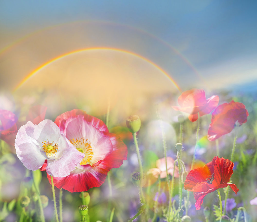 Poppies_Rainbow_504261.jpg