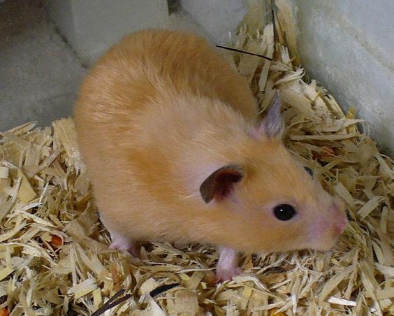 Peach_the_pet_hamster.jpg